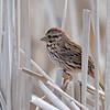 May 2 2014 - Song Sparrow