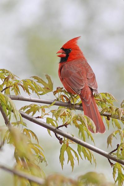 May 26 2014 - Northern Cardinal