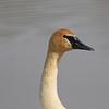 May 22 2014 - Trumpeter Swan