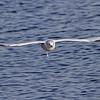 May 20 2014 - Gull Bomber