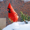November 22 2014 - Male Cardinal