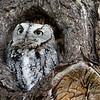 November 12 2014 - Screech Owl
