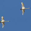 November 14 2014 - Tundra Swans