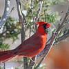 November 26 2014 - Male Cardinal