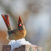 November 21 2014 - Female Cardinal