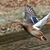 November 15 2014 - Duck Takeoff