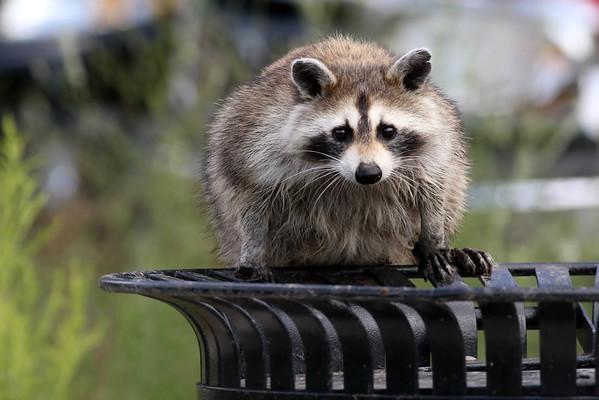 October 31 2014 - Raccoon