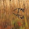 October 29 2014 - Cormorants