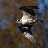 October 26 2014 - Osprey