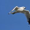 September 10 2014 - Gull