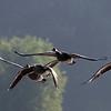 September 8 2014 - Morning Geese
