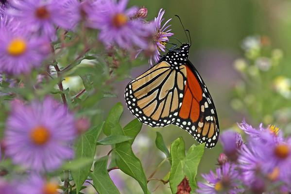 September 24 2014 - Monarch