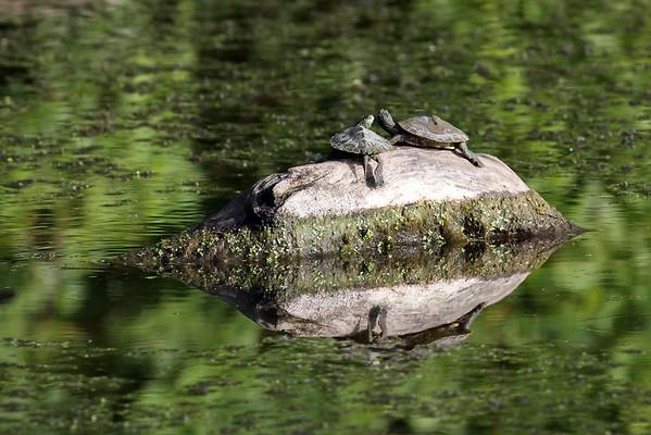 September 18 2014 - Turtles