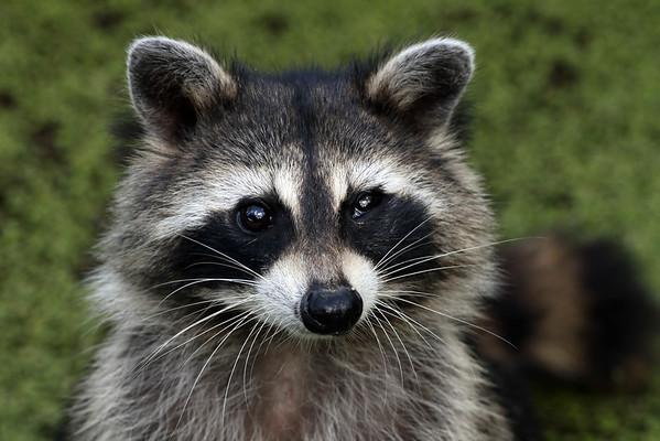 September 21 2014 - Raccoon