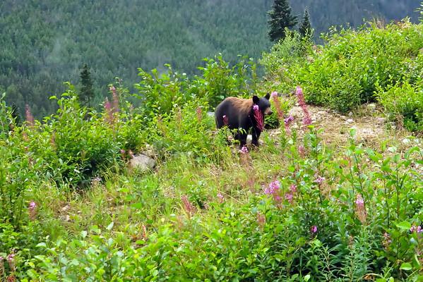 August 14 2015 - Bear