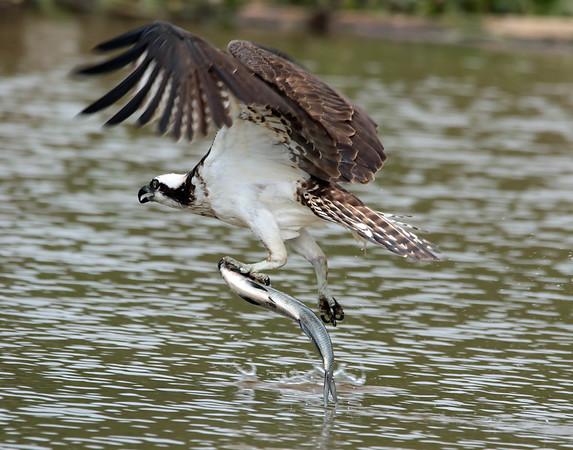 August 23 2015 - Osprey