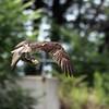 August 17 2015 - Osprey