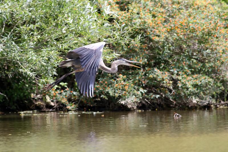 August 13 2015 - Heron