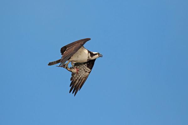 August 29 2015 - Osprey