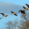 December 8 2015 - Geese