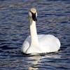 December 16 2015 - Trumpeter Swan