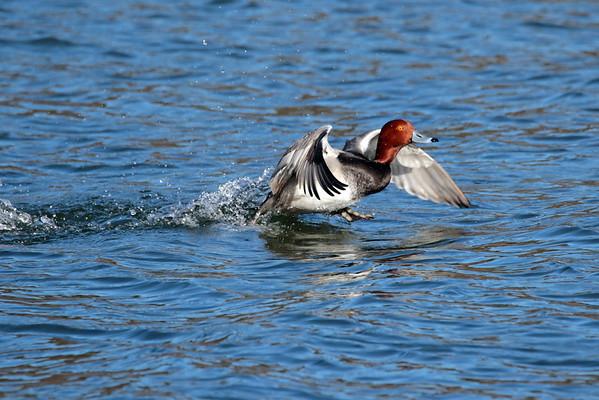 December 26 2015 - Redhead Duck
