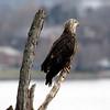 February 19 2015 - Bald Eagle