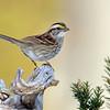 January 8 2015 - White Throated Sparrow