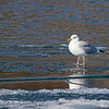 January 24 2015 - Gull