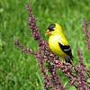 July 8 2015 - Goldfinch