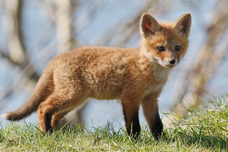 May 4 2015 - Fox Cub