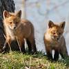 May 14 2015 - Fox Cubs