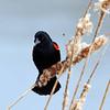 May 13 2015 - Redwing Blackbird
