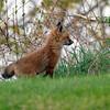 May 7 2015 - Fox Cubs