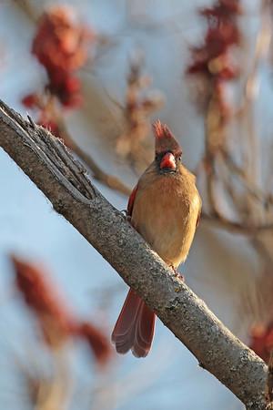 November 20 2015 - Northern Cardinal