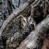 November 16 2015 - Screech Owl