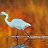 October 20 2015 - Egret