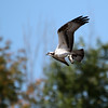 October 7 2015 - Osprey