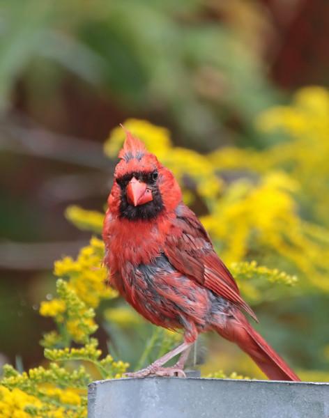 October 4 2015 - Cardinal