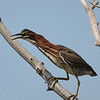 September 10 2015 - Green Heron