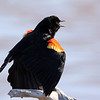 April 24 2016 - Red-Winged Blackbird