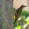 April 22 2016 - Hispaniolan Woodpecker