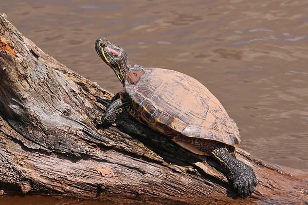 April 27 2016 - Turtle
