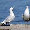 April 4 2016 - Singing Gulls