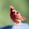 August 11 2016 - Cardinal