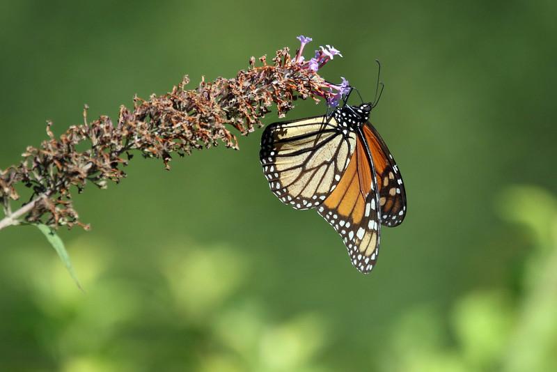August 25 2016 - Monarch