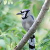 August 18 2016 - Bluejay