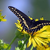August 20 2016 - Swallowtail