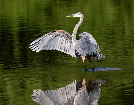 August 12 2016 - Heron