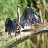 August 26 2016 - Great Blue Heron